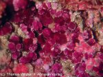 Click Here for Larger Erythrite Image
